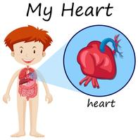Human anatomi diagram med pojke och hjärta
