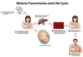 Malaria-Übertragung und Lebenszyklus