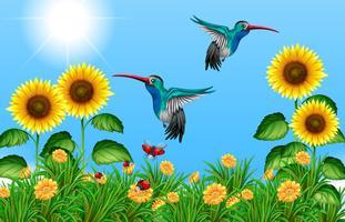 Två kolibrier som flyger i solrosfält