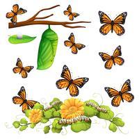 Verschiedene Stadien des Schmetterlings