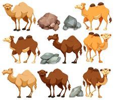 Kamel in verschiedenen Posen vektor