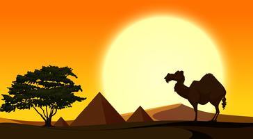 Bakgrundsscen med kamel vid solnedgången