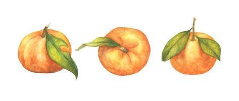Reihe von Orangenfrüchten. Aquarellillustration. vektor