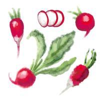 SET Radish med blad