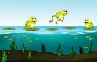 Tre gröna grodor på vattenlilja