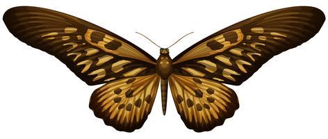 Riesiger afrikanischer Schwalbenschwanz - Papilio antimachus vektor
