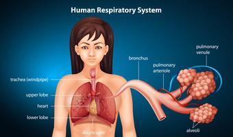 Atmungssystem des Menschen vektor