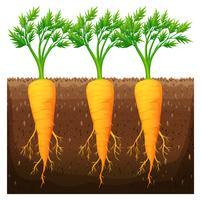 Frische Karotte, die auf dem Gebiet wächst