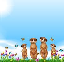 Fyra meerkats som står i fältet