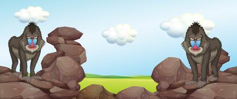Två bavianer som står på stenar