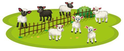 Weiße Schafe und schwarze Schafe auf dem Hof