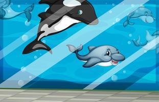 Delfiner simmar i akvarietanken
