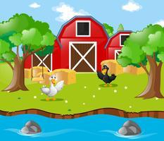 Zwei Enten auf dem Bauernhof