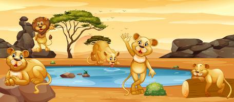 Löwen trinken Wasser aus dem Teich
