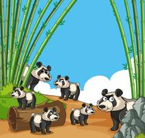 Många pandaer i bambuskog