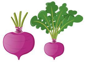 Rädisa med gröna blad vektor