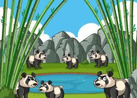 Pandor i bambuskogen vektor