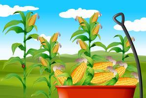 Cornfält och majs i vagn vektor