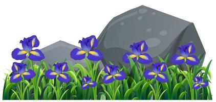 Purpurrote irische Blumen im Garten