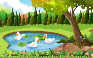 Tre ankor simma i dammen
