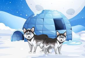 Syberiska hundar och igloo