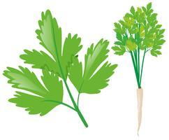 Vit rädisa med gröna blad vektor