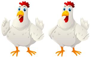 Zwei weiße Hennen auf weißem Hintergrund