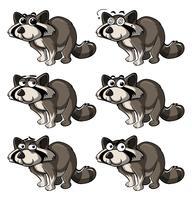 Tvättbjörn med olika uttryck