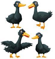 Schwarze Enten in vier Aktionen vektor