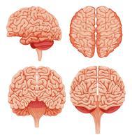 Menschliches Gehirn auf weißem Hintergrund vektor