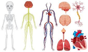 Unterschiedliches System im menschlichen Körper vektor