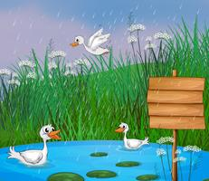 Enten spielen im Regen