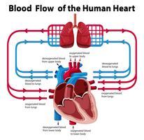 Diagram som visar blodflödet av mänskligt hjärta