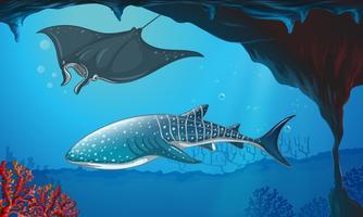Haj och stingray simmar under vattnet