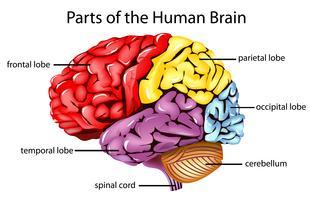 Mänsklig hjärna vektor