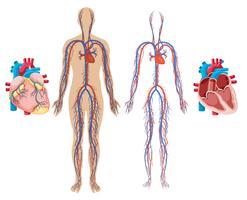 Herz und Herzkreislaufsystem des Menschen vektor
