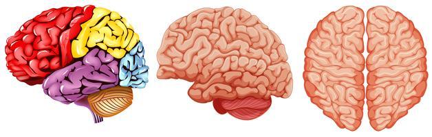 Olika diagram av mänsklig hjärna