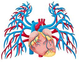En mänsklig hjärta på vit bakgrund