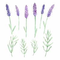 Aquarell Lavendel Blumen und Blätter vektor