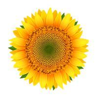 Sonnenblume, isoliert auf weiss vektor