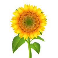 Sonnenblume mit Stiel vektor