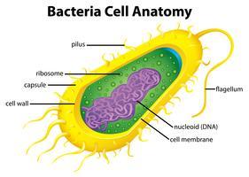 Bakteriecellstruktur vektor