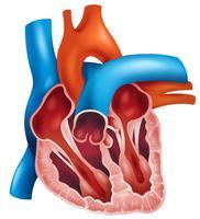 Herzquerschnitt vektor