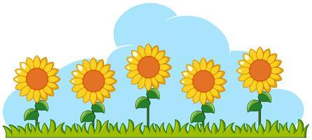 Sonnenblumen im Garten auf weißem Hintergrund vektor