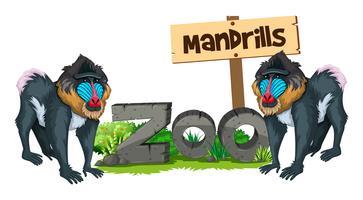 Två mandriller i djurparken