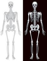 Mänskligt skelett i vit och svart bakgrund vektor