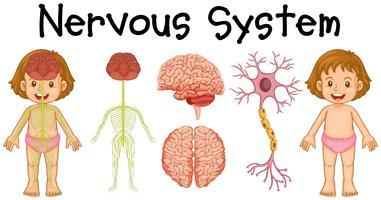 Nervesystem av liten tjej