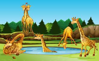 Giraffe in der Natur