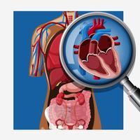 Eine Nahaufnahme der menschlichen Anatomie des Herzens vektor