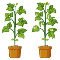 Zwei Topfpflanzen mit Bohnen